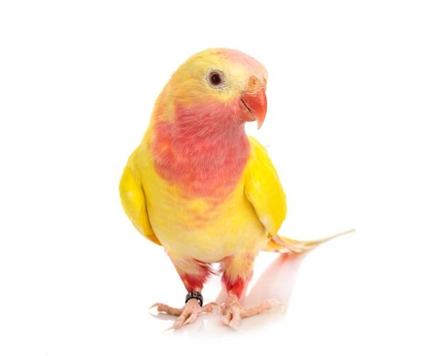 Perroquet princesse mignon