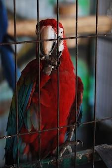 Perroquet rouge coloré au zoo.