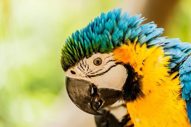 Perroquets ara-bleu et jaune