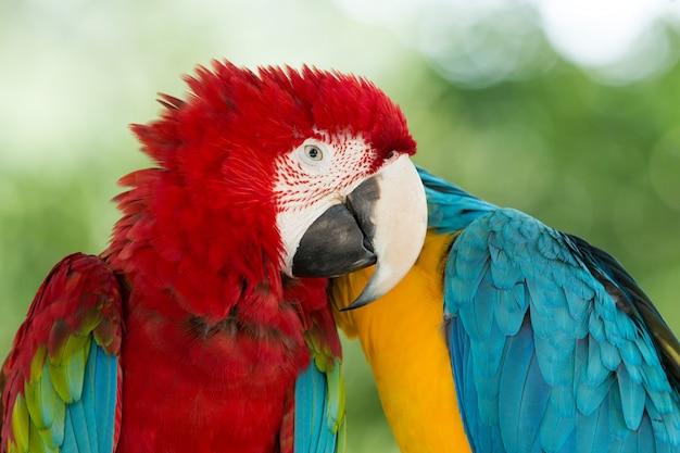 Perroquets aras