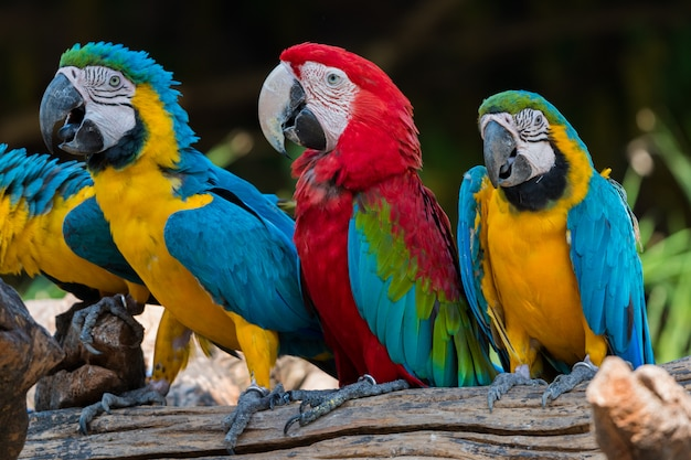 Perroquets macaw se bouchent