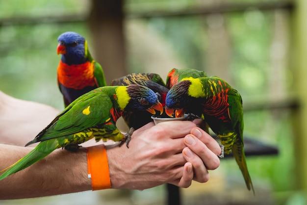 Perroquets mangeant des graines de la main humaine.