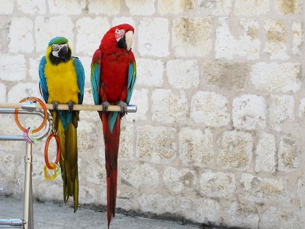 Perroquets rouges, bleus et jaunes debout sur un bâton