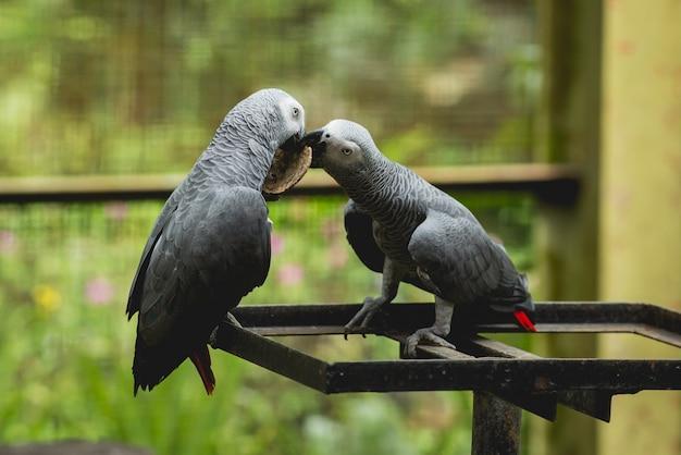 Perroquets se battant pour la nourriture. zoo, réserve tropicale.