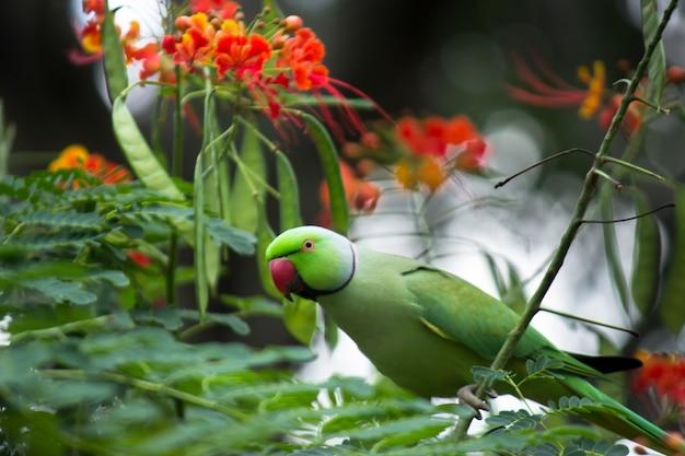 Une perruche annelée rose sur l'arbre royal poinciana regardant curieusement dans l'appareil photo