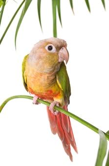 Perruche à joues vertes en studio