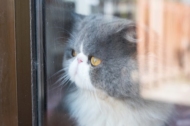 Persan blanc chat gris pelucheux cheveux longs avec regarder à travers le verre