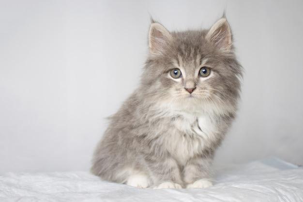 Persan gris peu moelleux maine coon kitte à la clinique vétérinaire et les mains dans les gants bleus
