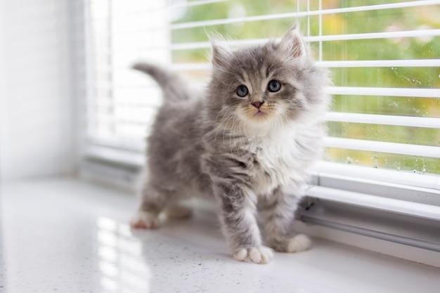 Persian gris petit chaton maine coon moelleux se tient près de la fenêtre de la porte et levant les yeux.