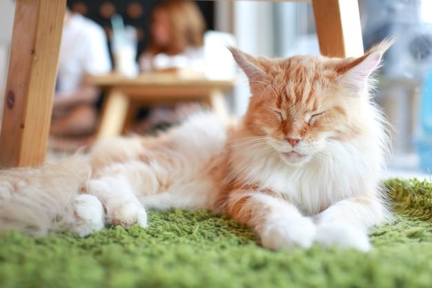 Persian mignon couché sur le sol