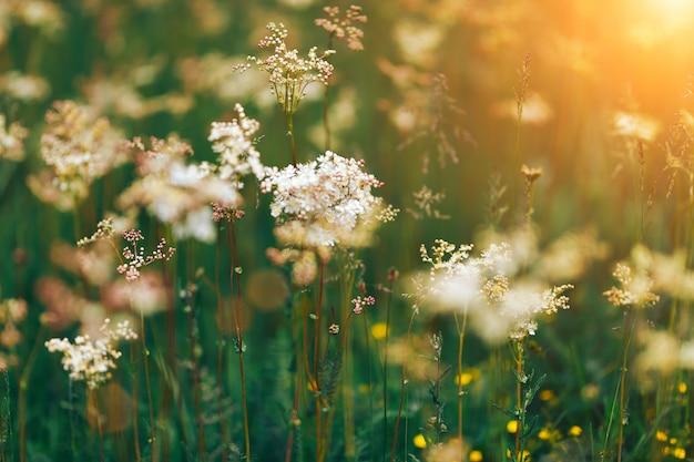 Persil de vache de fleurs blanches d'été au lever du soleil