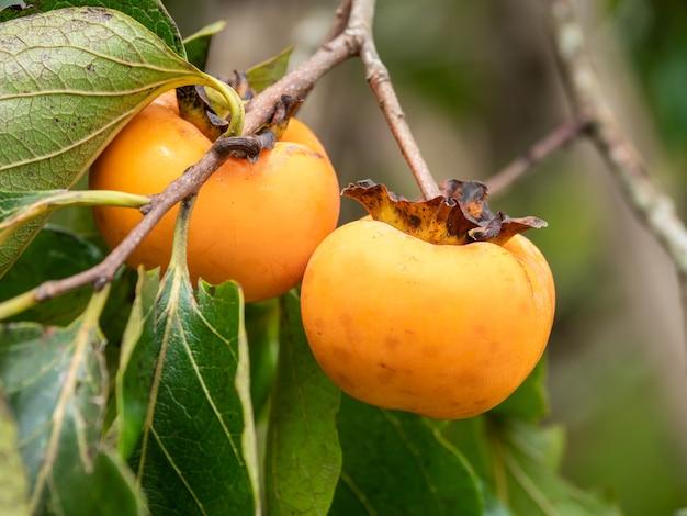 Persimmon fruits bio