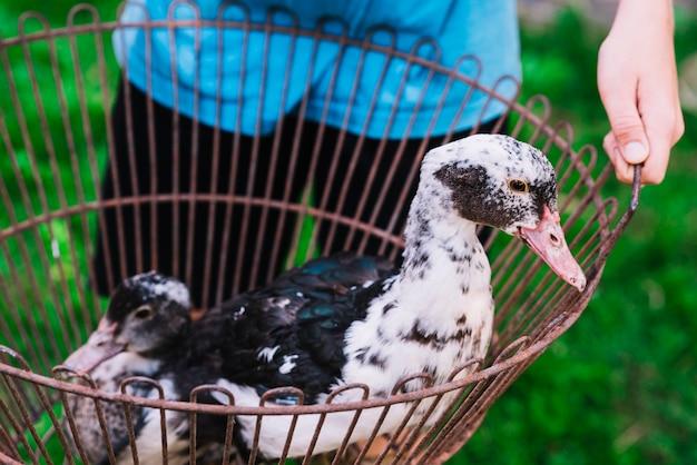 Une personne tenant des canards dans la cage métallique