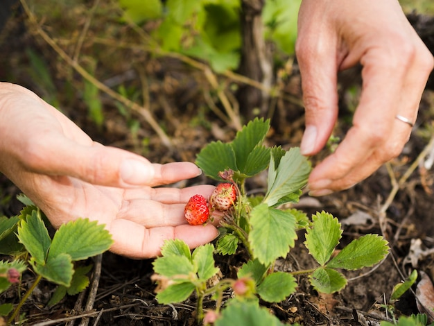 Personne, tenue, petit, fraises