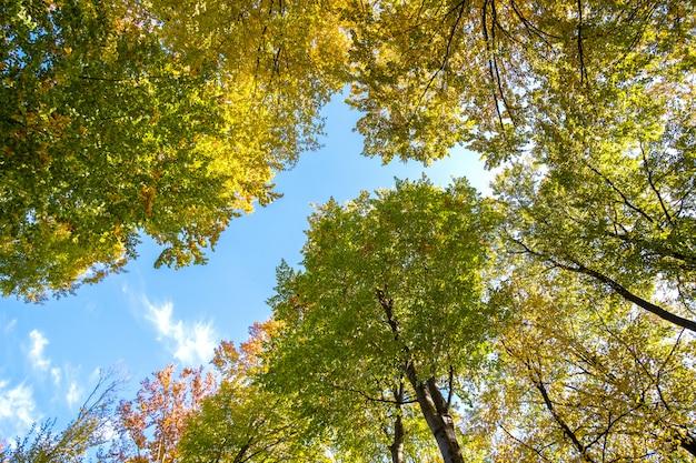 Perspective de bas en haut de la forêt d'automne avec des feuilles orange et jaune vif. bois denses avec auvents épais par temps d'automne ensoleillé.