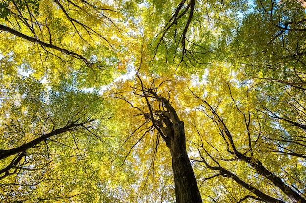 Perspective de bas en haut sur la forêt d'automne avec des feuilles orange vif et jaune. bois denses avec des auvents épais par temps d'automne ensoleillé.