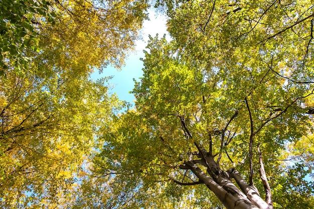 Perspective de bas en haut sur la forêt d'automne avec des feuilles orange vif et jaune.