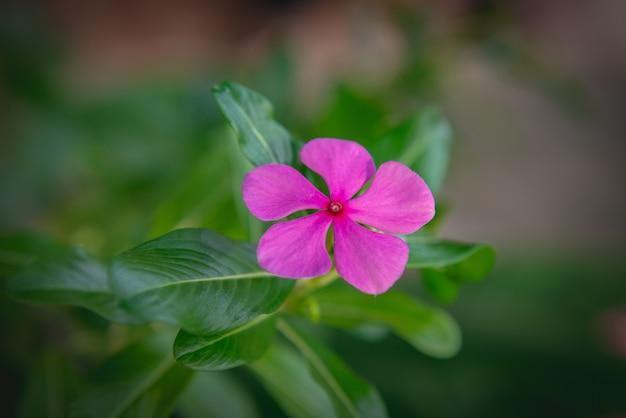 Pervenche rose ou fleurs de pervenche de madagascar avec des feuilles