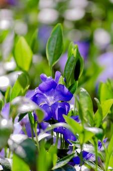 Pervenche vulgaris, fleurs de gros plan de couleur bleu clair