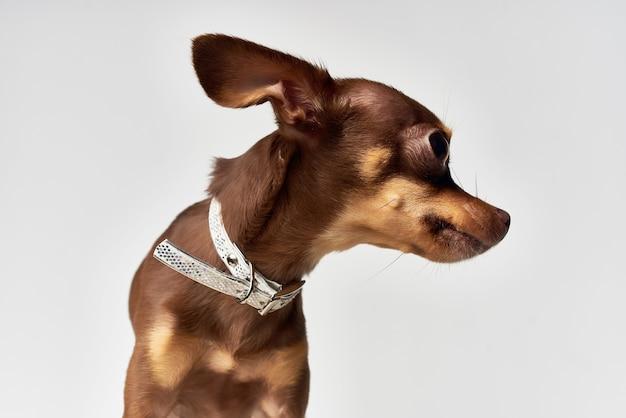 Pet pedigree look mignon fond clair