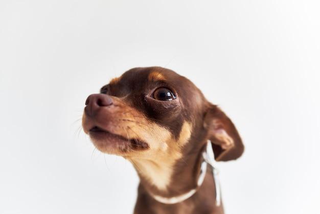 Pet pedigree look mignon fond isolé. photo de haute qualité