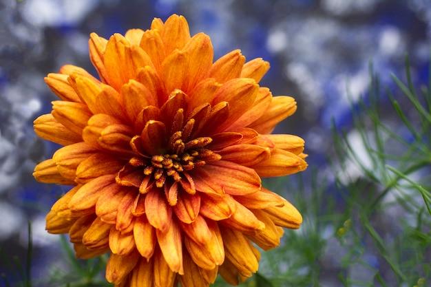Pétales de beau chrysanthème orange.
