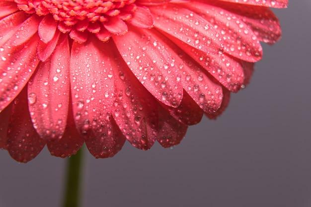 Pétales de fleurs de gerbera rose avec des gouttelettes d'eau
