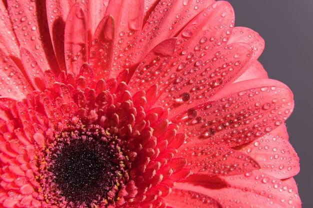 Pétales de fleurs de gerbera rose avec de nombreuses petites gouttelettes d'eau. plan macro d'un gros plan de bourgeon.