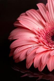Pétales de gerbera rose sur fond noir