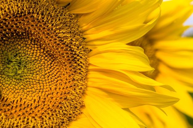 Pétales jaune vif sur tournesols jaunes
