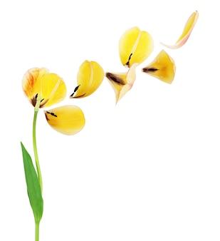 Pétales jaunes de la tulipe sur fond blanc