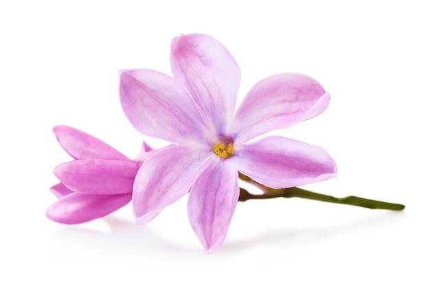 Pétales de lilas isolés sur une surface blanche