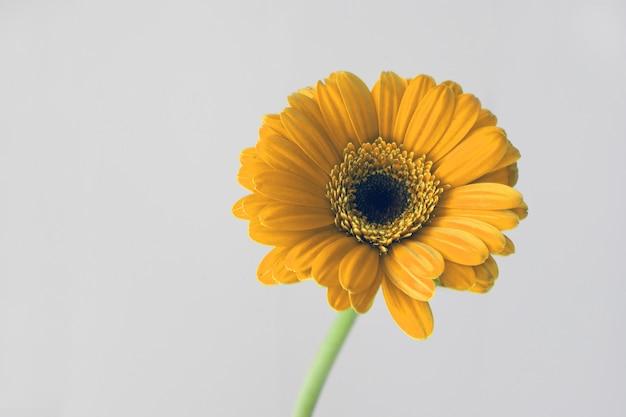 Pétales de macro marguerite jaune. belle fleur de gerbera sur fond blanc. notion de printemps
