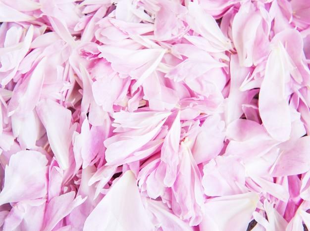 Pétales de pivoine rose