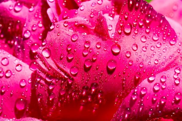 Pétales de pivoine rouge avec des gouttes d'eau, gros plan d'une plante à fleurs avec des détails de la plante, printemps ou été, parterre de fleurs