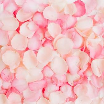 Pétales de rose rose close up detail