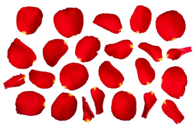 Pétales de rose rouges isolés sur fond blanc.