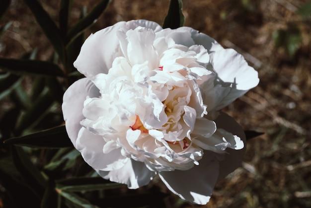 Pétales de roses blanches. fleur rose blanche. fond de fleurs