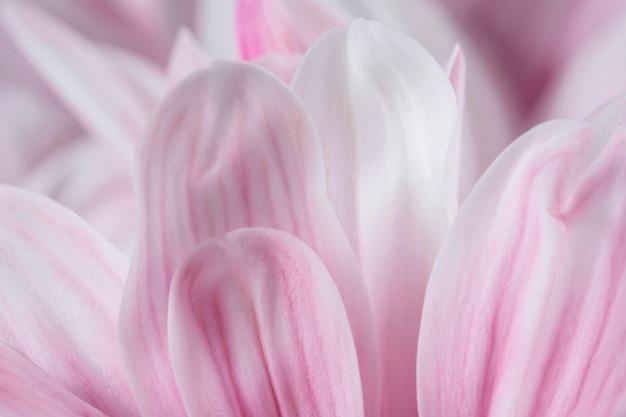 Pétales roses macro nature gros plan