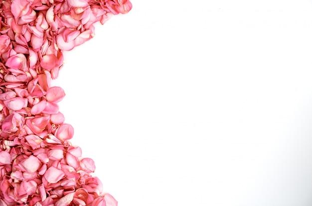 Pétales de roses roses sur fond blanc
