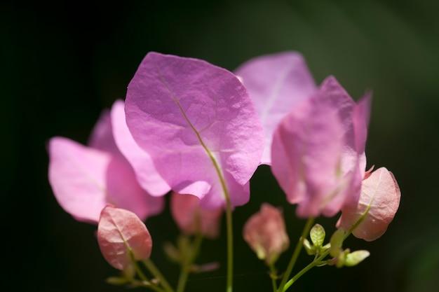 Pétales roses avec des veines vertes délicates sur un fond vert foncé
