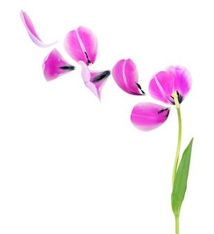 Pétales de tulipe sur fond blanc