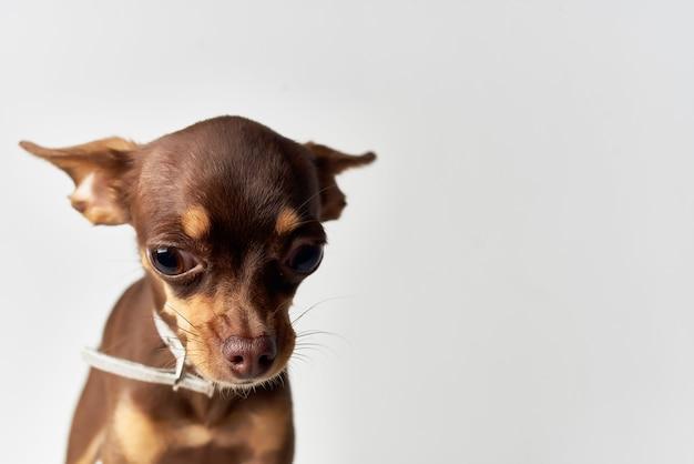 Petit ami de mammifères de chien de plan rapproché humain