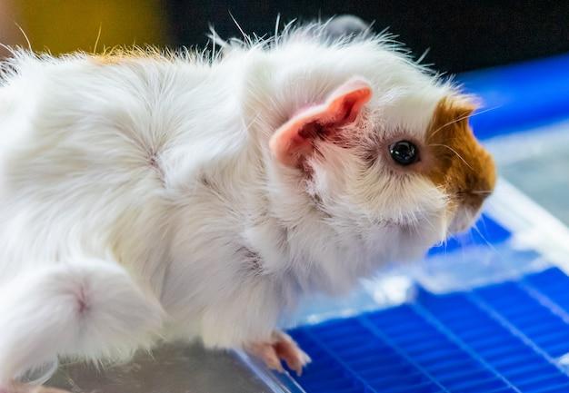 Petit animal de compagnie mignon cochon d'inde brun et blanc