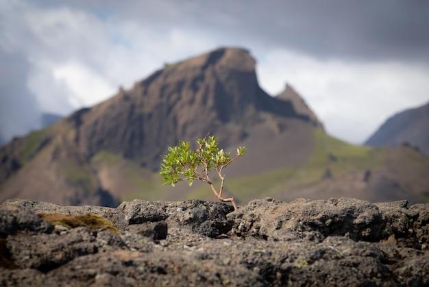 Petit arbre fort sur le paysage volcanique. islande, piste de randonnée de laugavegur, concept de désir, de volonté et de force.