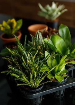 Le petit arbre en petite cosse est utilisé pour la décoration et le jardinage domestique.