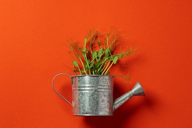 Petit arrosoir en métal avec bouquet de micro vert sur mur de couleur