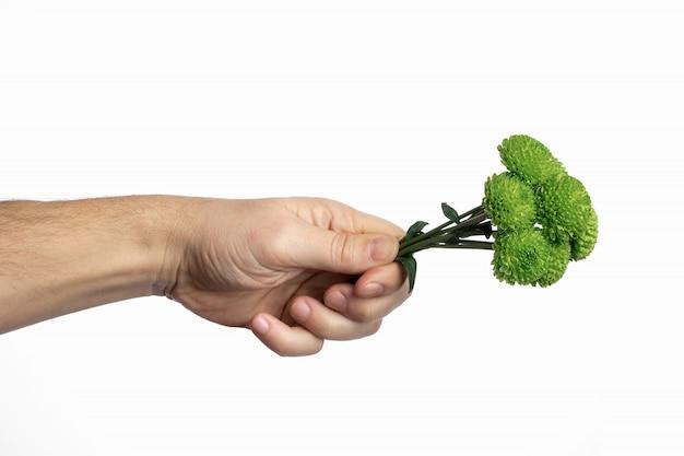 Un petit bouquet de chrysanthèmes verts dans une main masculine sur fond blanc