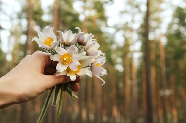 Un petit bouquet de perce-neige à la main. fleurs de printemps dans la forêt de conifères. perce-neige sibérien.