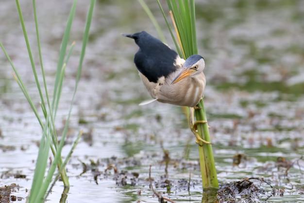 Petit butor mâle au cou tordu et prêt à attraper une proie. assis sur le roseau